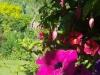 Larkrise pink flower